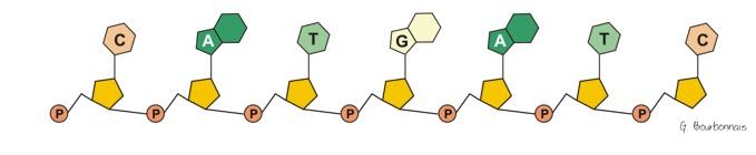 schéma de la molécule d'ADN